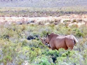 """Here is a female rhino and its calf. Do you know... a group of rhinoceros is called a """"crash""""."""