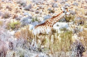 Giraffes like to roam where they can blend in with nature. It was almost hard to see this amazing animal from afar.