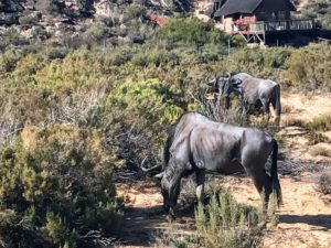 While visiting the reserve, they saw these blue wildebeests. The wildebeests, also called gnus, are a genus of antelopes, scientific name Connochaetes. They belong to the family Bovidae, which includes antelopes, cattle, goats, sheep and other even-toed horned ungulates.