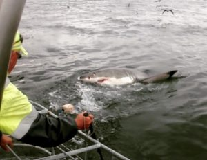 On this day, they were lucky - two sharks surfaced. The waters were rough, but the group saw two 12-foot juvenile females.