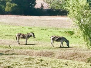 Some of the vineyards had animals. Here are two zebras - one male and one female. Apparently, they haven't had any offspring in several years, but everyone continues to hope they will have a baby soon.