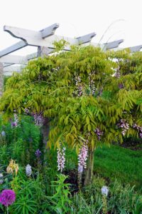 At the end of each pergola section is a pair of wisteria standards - so colorful and fragrant.