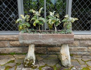 This ancient English stone trough is filled with kalanchoe beharensis, or Velvet Elephant Ear - a slow growing succulent tree-like shrub with large, undulating, soft, velvety leaves.