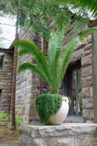 In this pot - a cycad and baby's tears. As the baby's tears grow, it spreads and trails over the edge of the pot. I love how it looks in this urn.