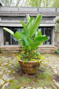 This is one of two giant Soderholtz pots - Ellis Soderholtz was a pioneer in American garden pottery at the turn of the last century, turning concrete into these gorgeous vessels. I planted it with Bird of Paradise. The Bird of Paradise if best known for its banana shaped leaves and bird shaped tropical flowers. It is underplanted with Lysimachia.
