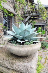 The giant, heavy Soderholz planter made with reinforced concrete from the 1920s, is now planted with silver-blue agave and 'Silver Falls' dichondra. Agaves are exotic, deer-resistant, drought-tolerant and make wonderful container plants.