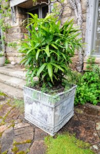This planter is one of a pair, and was made sometime in the 18th to 19th century. This year, we planted it with Lady's palm, Rhapis excelsa, and Parrot's Beak lotus, Lotus berthelotii.