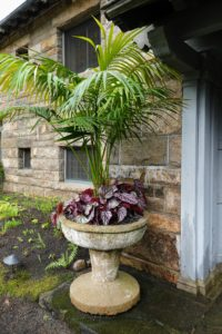 And flanking the front door of Skylands, we planted these urns with Kentia palm, Howea forsteriana, and begonias. The Kentia palm is native to Lord Howe Island off the eastern Australian coast, where it can reach an impressive height of 60-feet. For container growing, heights can vary between five and 12 feet. Kentias have upright slender trunks and long arching, feathered, dark green fronds.
