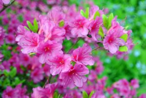 Azalea flowers can be single, hose-in-hose, double or double hose-in-hose, depending on the number of petals. These bold pink azalea blossoms are hose-in-hose and contain 10-petals each.