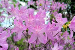 The best time to shop for azaleas is when they are in bloom so you can see their flower colors and forms.