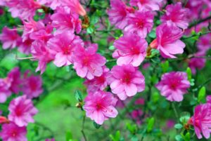Azaleas are flowering shrubs in the Ericaceae family, which includes blueberries and mountain laurel. They are also all rhododendrons and members of the genus Rhododendron.