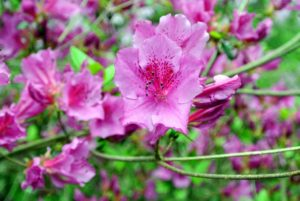Although azaleas are resistant to many pests and diseases, they are susceptible to some problems, including bark scale, petal blight, powdery mildew and a leaf disease called azalea gall.