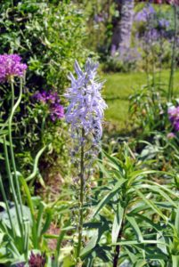 Camassia is incredibly valuable since it naturalizes well when left undisturbed in a good spot.