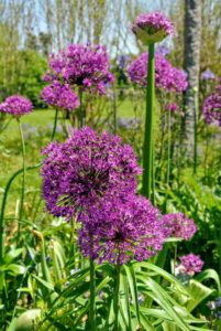 Alliums are often overlooked as one of the best bulbs for constant color throughout the seasons. They come in oval, spherical, or globular flower shapes, blooming in magnificent colors atop tall stems.