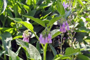 Symphytum is a genus of flowering plants in the Boraginaceae family. You may know it by its common name, comfrey. It is a dynamic accumulator in the garden - drawing minerals out of the soil and into the roots and leaves. It is also a wonderful compost accelerator and weed suppressant.