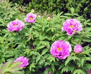 Unlike the more common herbaceous peonies, which flop over if not staked, tree peonies bloom on graceful woody stems. Many of my more established shrubs came from Peony's Envy in Bernardsville, New Jersey. https://www.peonysenvy.com/