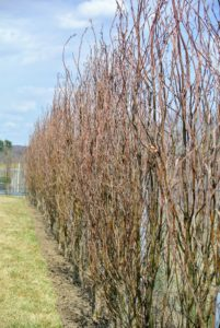 On the inside of the fence, we planted a beautiful hedge of beech trees - these will look so gorgeous when mature. See our planting process in a previous blog. http://www.themarthablog.com/2018/04/planting-a-new-hedge-at-the-farm.html