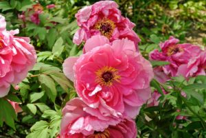 Once established, tree peonies are drought tolerant plants. Excess water will suffocate the roots, so do not water until the soil is dry below the surface.