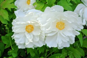 Keep in mind that most tree peonies will grow four to seven feet tall and about four to five feet wide, so select a spot that can also accommodate a mature plant.