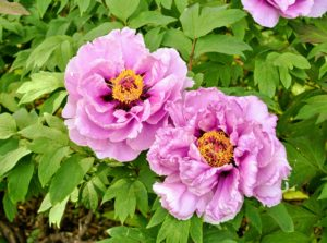 Tree peonies are heavy feeders and respond well to a generous, early autumn top dressing of bone meal or rose fertilizer. The high potash content encourages flowers to develop. A light sprinkling of a general fertilizer can be applied in spring.