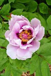 The soil for tree peonies must be deep, rich and loose, with a pH between 6.5 and 7.0 - they prefer a slightly alkaline soil.