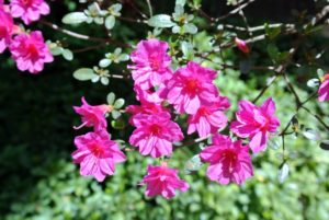 Azalea petal shapes vary greatly. They range from narrow to triangular to overlapping rounded petals. They can also be flat, wavy or ruffled.