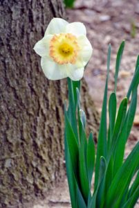 These blooms show the distinct perfectly formed three-inch white perianth surrounded by the pale, yellow cup.