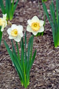 Narcissus is a genus of spring perennial plants of the Amaryllidaceae family.