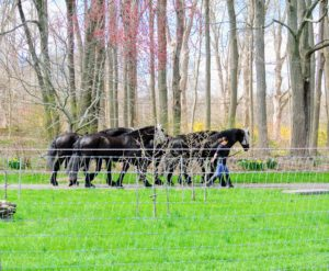 In the afternoon, my stable manager, Sarah, walks my dear Friesians to their paddock.