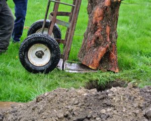 The bottom of the tree is also trimmed, so it sits level when placed into the hole.