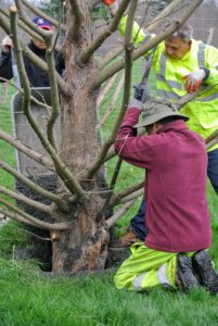 Here he is tamping down the soil to make sure it is well compacted around the trunk of the tree.
