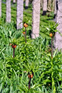 Also planted at the pergola is Fritillaria imperialis. Fritillaria imperialis is a species of flowering plant in the lily family, native to a wide stretch from Kurdistan across the plateau of Turkey, Iraq and Iran to Afghanistan, Pakistan and the Himalayan foothills.