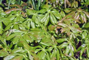 """Known botanically as Podophyllum peltatum, this plant goes by various common names. """"Mayapple"""" is used most often, but among its other nicknames are """"duck's foot"""" and """"American mandrake."""""""