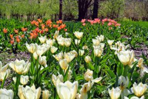 Here are some of the many tulips growing behind my main greenhouse. We planted these three years ago and they still emerge with such wonderful colors. I ordered bulbs from Brent and Becky's Bulbs, Van Engelen, McClure and Zimmerman and Old House Gardens Heirloom Bulbs.