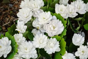 Bloodroot plants are early spring bloomers and may be found growing wild in dappled sun in wooded areas, producing beautiful white flowers. Bloodroot plants, Sanguinaria canadensis, get their name from the dark red sap found in the stems and roots.