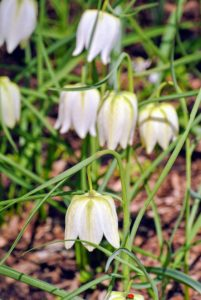 This is Fritillaria meleagris, also known by its common names: chess flower, checkered lily, drooping tulip, or in northern Europe, simply fritillary.