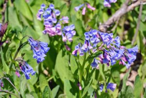 Mertensia virginica is a perennial that is native to North America. Its buds are actually pink, but the flowers are blue. They can grow in any garden and bloom in early to mid spring and continue blooming through early to mid summer.