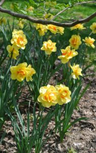 When choosing where to plant daffodils, select an area that gets at least half a day of sun. Hillsides, and raised beds do nicely.