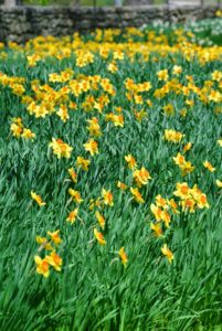 There are about 50-species of daffodils, and more than 27-thousand registered daffodil hybrids. There is also one named after me, Narcissus 'Martha Stewart', which I also have planted here at the farm.