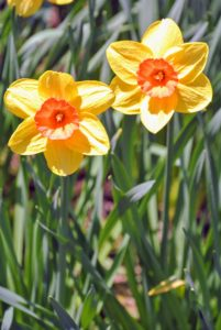 Normal rainfall will typically take care of any watering requirements during the spring flowering season. The most important care tip is to provide daffodils with rich, well-drained soil.