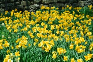 Narcissus is a genus of spring perennials in the Amaryllidaceae family. They're known by the common name daffodil.