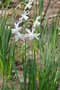These daffodils are a smaller variety - dainty, white charming blooms with six flower petals centered with a long, tubular like-colored narcissus cup.