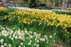 The daffodil border is broken up into various groupings - different varieties, different shapes and sizes and different blooming times. This provides a longer splash of color.