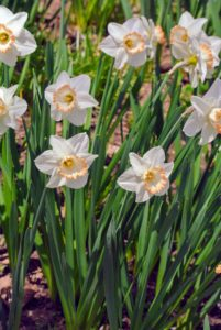 Narcissus 'Elizabeth Ann' - white flowers with a cup rimmed in medium orange-pink. Fertilize daffodils with extra phosphorous to encourage good root development, especially when they're young.