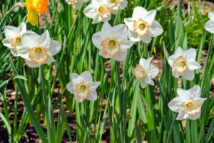 In my daffodil border, I planted early, mid and late season blooming varieties so that when one section is done blooming, another is just opening up. Consider this strategy to lengthen the blooming season. If you want some tips for planting a lot of narcissi bulbs, look at this blog I did awhile back. http://www.themarthablog.com/2014/05/the-new-daffodil-border-at-the-farm.html