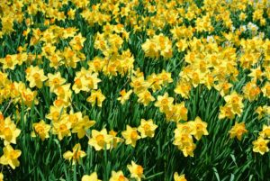 "These yellow daffodils are Narcissus ""Red Rascal."""
