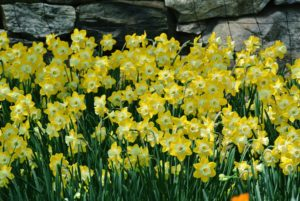 Few pests bother daffodils. The bulbs are actually quite unappetizing to most insects and animals, including deer and voles.