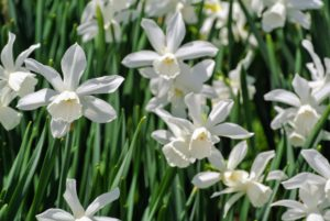 Daffodil plants prefer a neutral to slightly acidic soil. Be sure they are planted where there is room for them to spread, but not where the soil is water-logged.