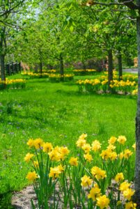 The view of all these daffodils is breathtaking. What daffodils are growing around your home?
