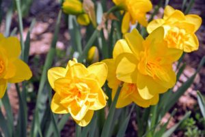 Bulbs should be planted in groups or drifts of like kinds and like colors to give the best presentation.